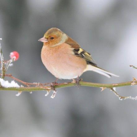 Pinson Des Arbres Le Pinson Des Arbres Est Assez Frequent Il Habite Principalement Dans Les Forets Les Oiseaux Des Jardins Pinson Des Arbres Oiseaux