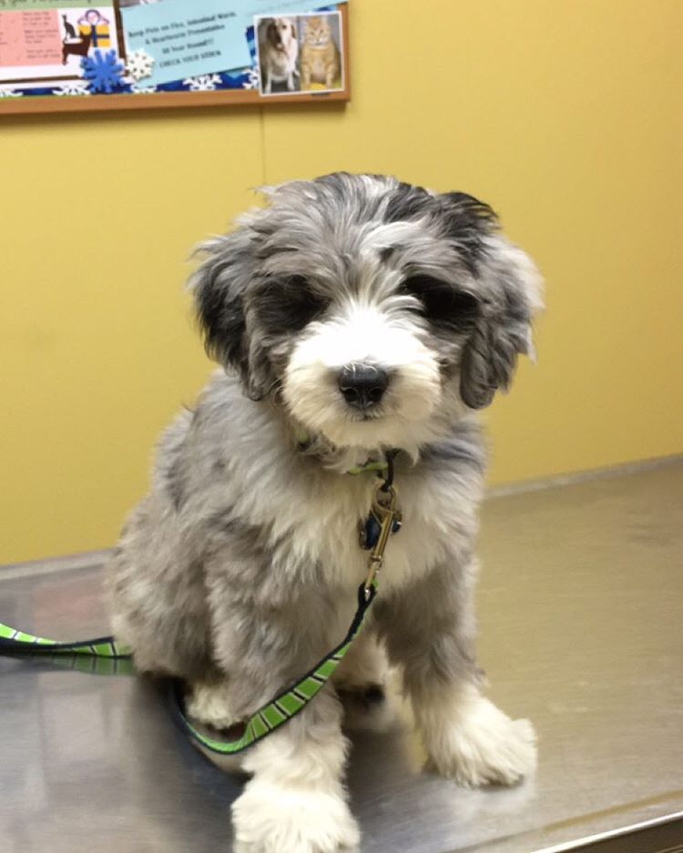 Odis The Aussiedoodle On Instagram First Visit With The Vet Today Mommy Said I Was Such A Good Boy And Everything Looks G Aussiedoodle Cute Dogs Doodle Dog