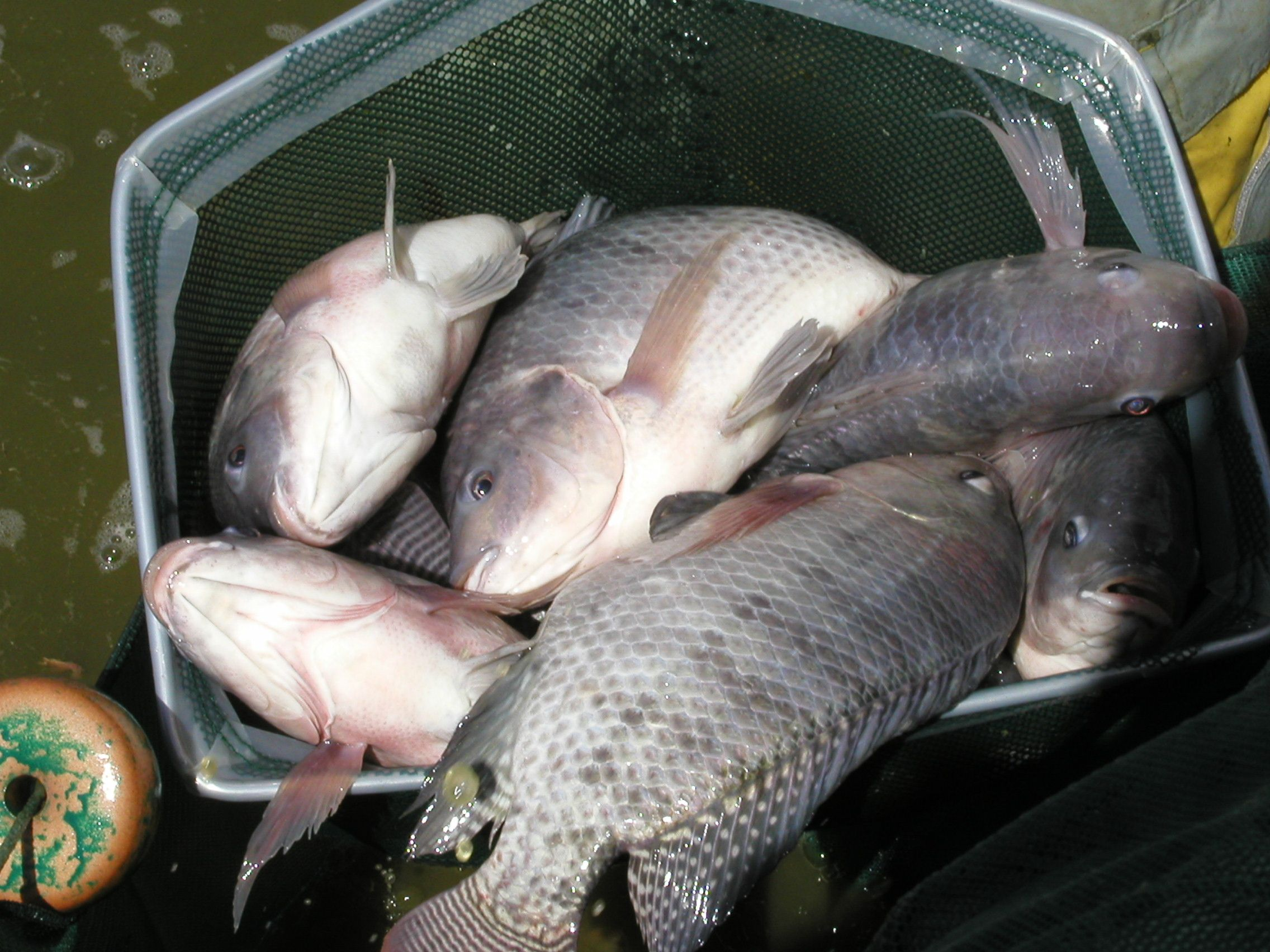 tilapia harvest fishes pinterest tilapia and hydroponics