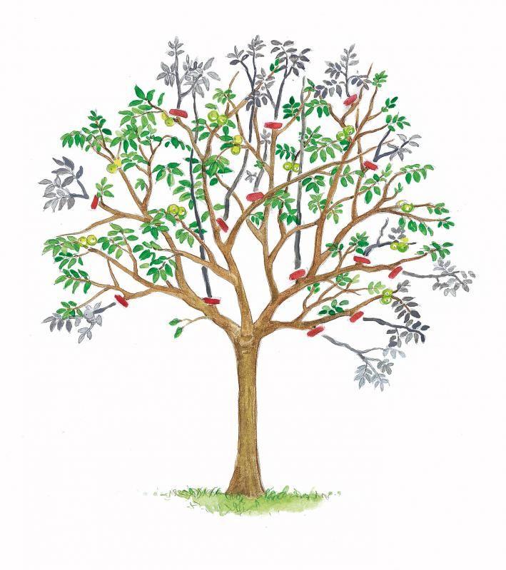 walnussbaum richtig schneiden garten pinterest baum garten und nuss. Black Bedroom Furniture Sets. Home Design Ideas