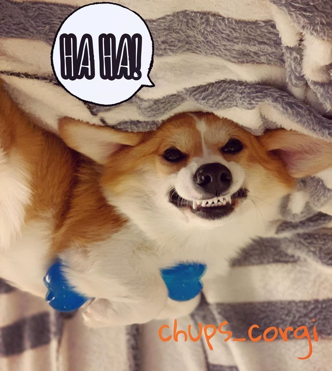 "Mr. Chups 🍭 on Instagram: ""Look. This is my bone. 🦴😈🤣 . . . #ChupsCorgi #dog #instapuppy #petstagram  #ilovemydog #puppies #animal  #corgi #corgisofinstagram…"""