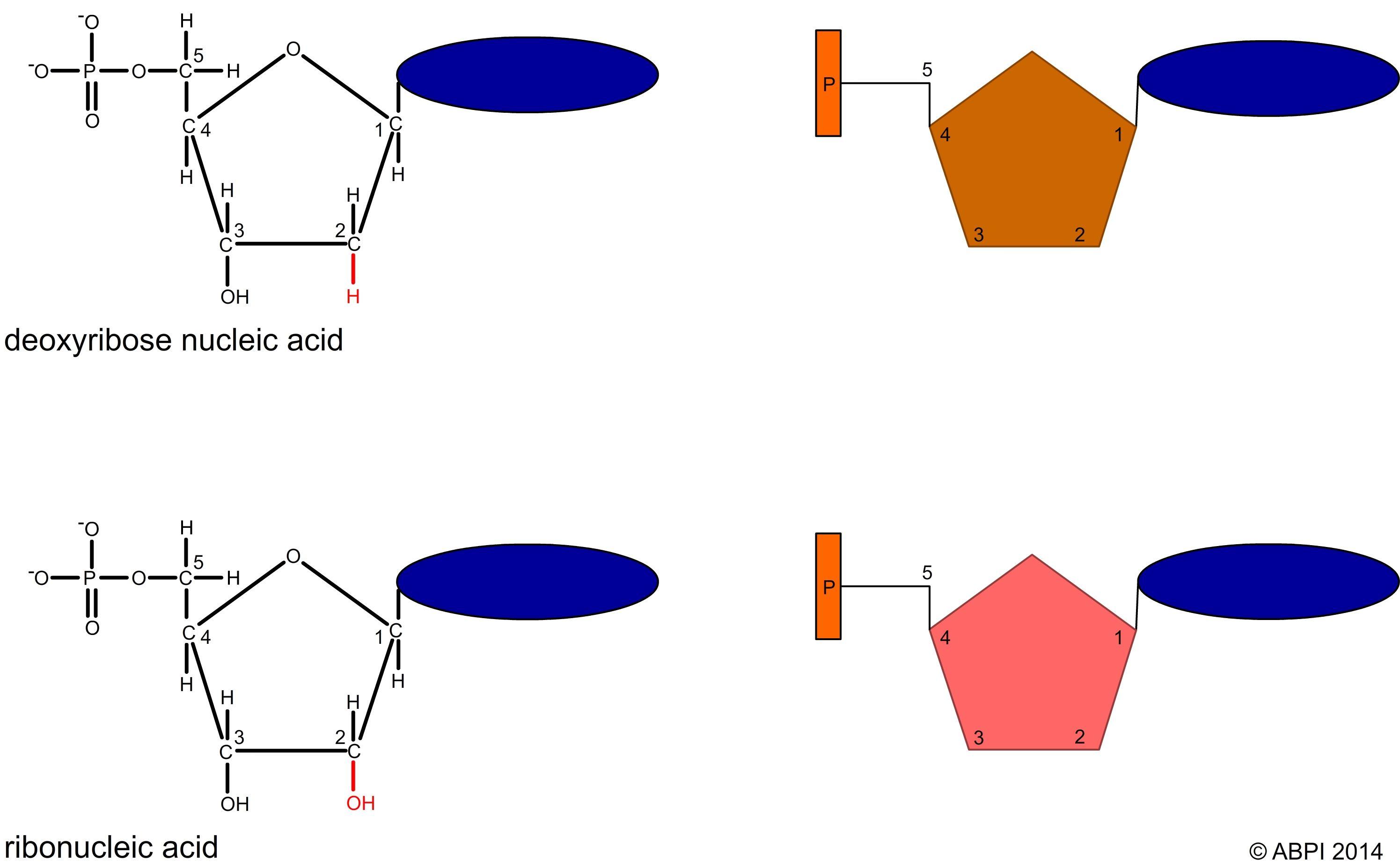 Structure of a nucleotide Wissenschaft