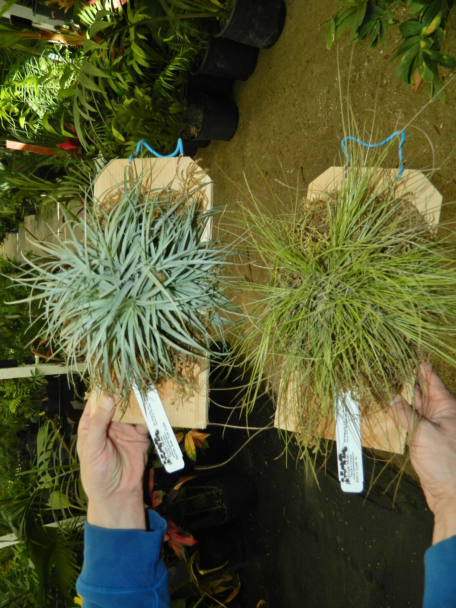 Bromeliads Tillandsia Clusters Mounted On Wood These Are A Type