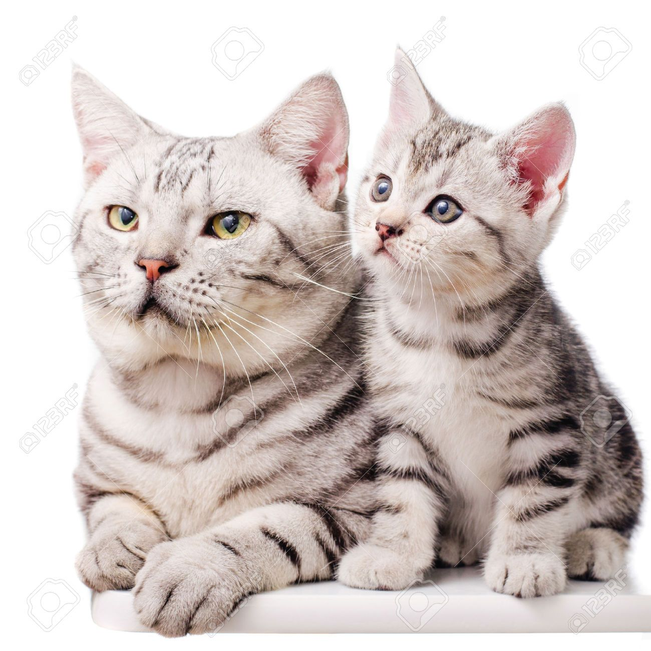 American Most Beautiful American Shorthair Cat And S