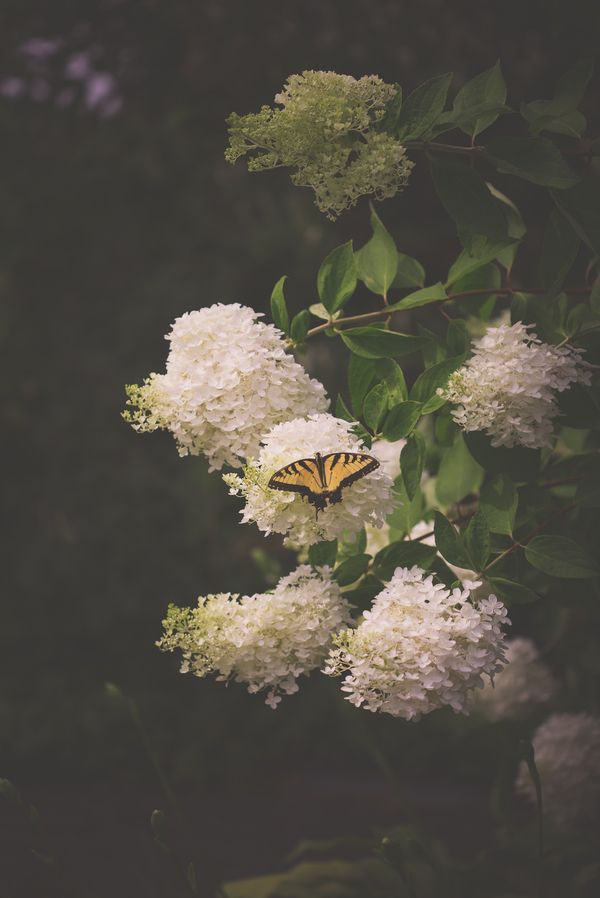 Reverie at ArtfullyWalls, Swallowtail butterfly resting on a white blossom in the evening hour.