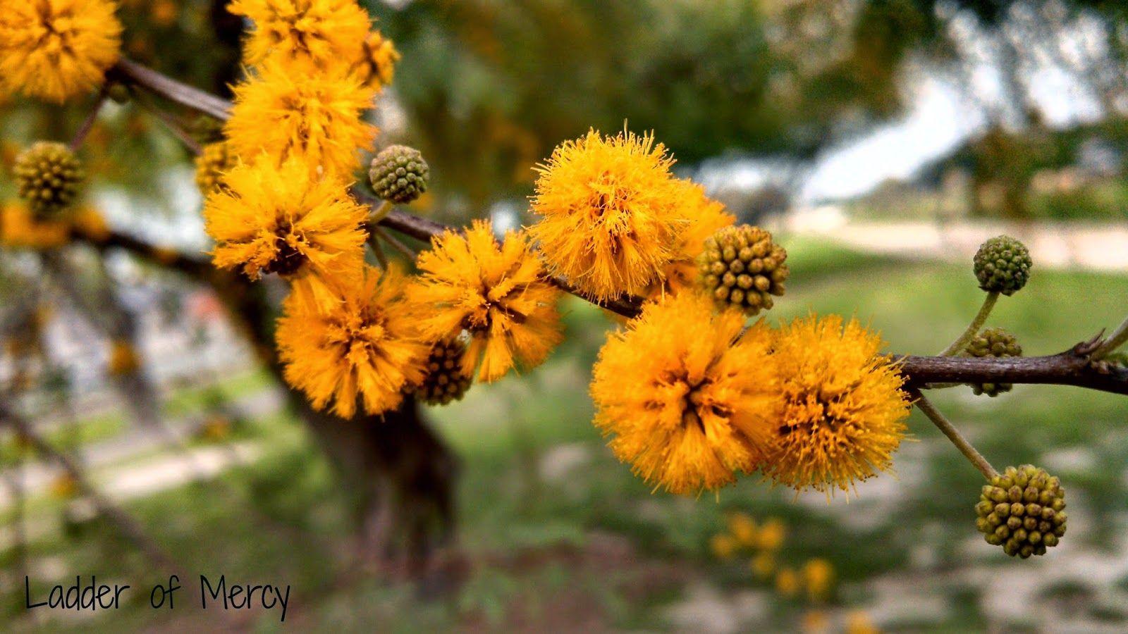 Huisache Acacia Farnesiana Greek Flowers Flower Essences Flowers