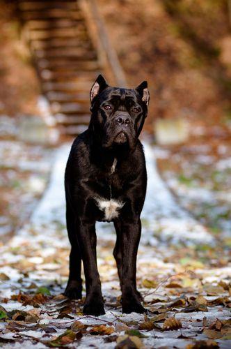 Cane Corso Cane Corso Dog Breeds Bully Dog