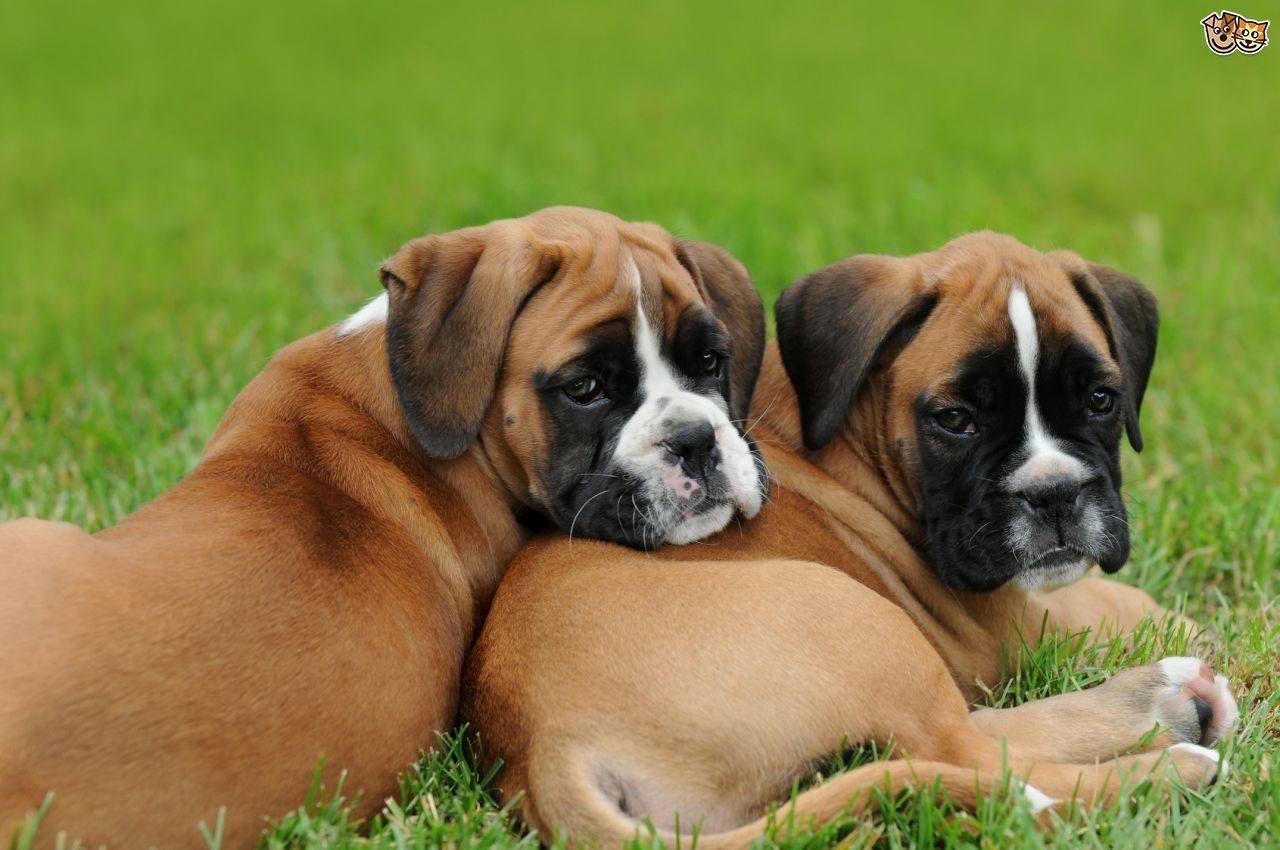 How to buy a Boxer dog puppy from a breeder Pets4Homes