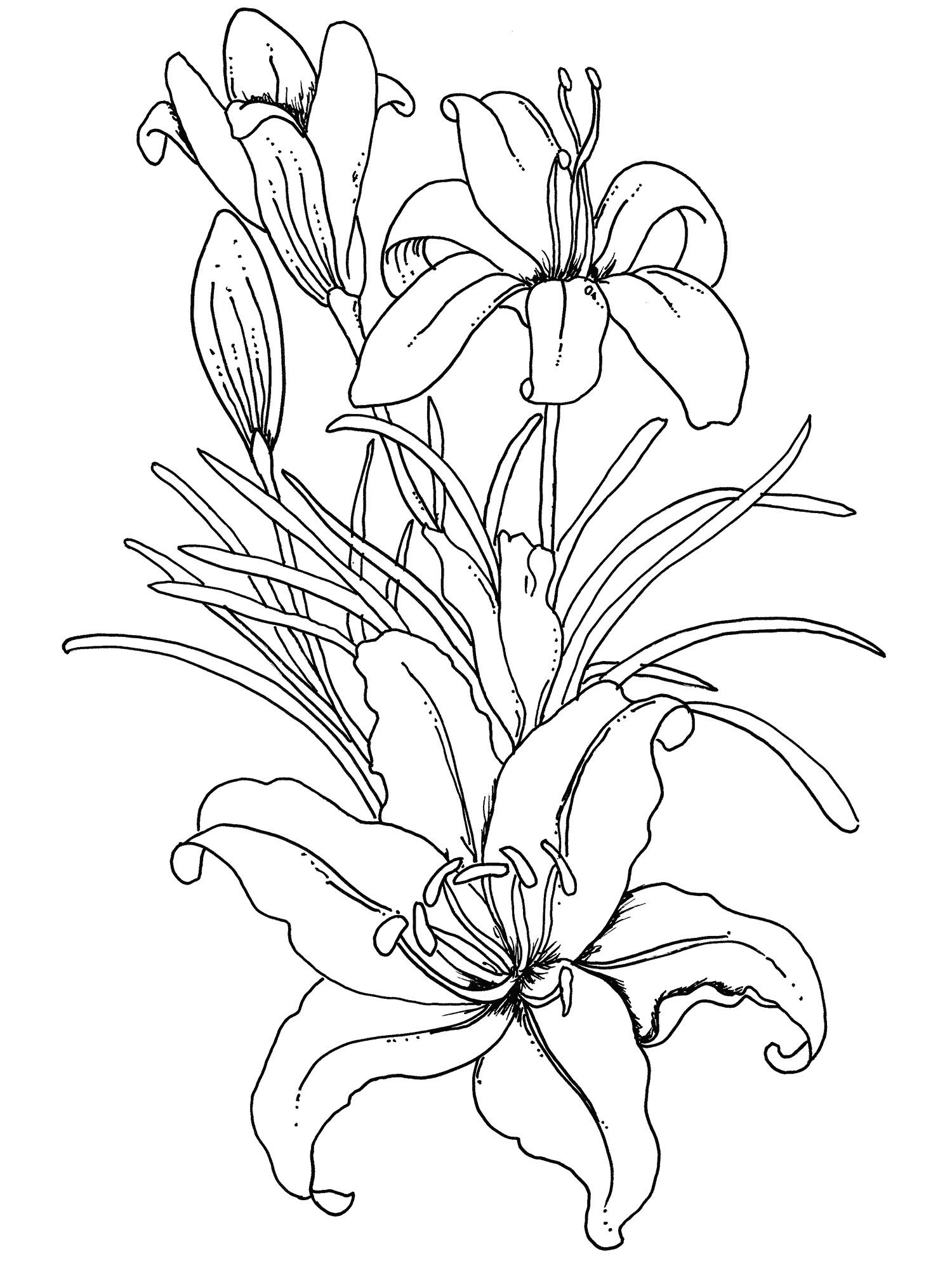 Flower Coloring Pages For Adults Lilium Flower Coloring Pages For Adults  Coloring Pagesthe
