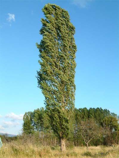 Alamo arbol rboles pinterest arbustos buscar con for Arboles perennes en argentina