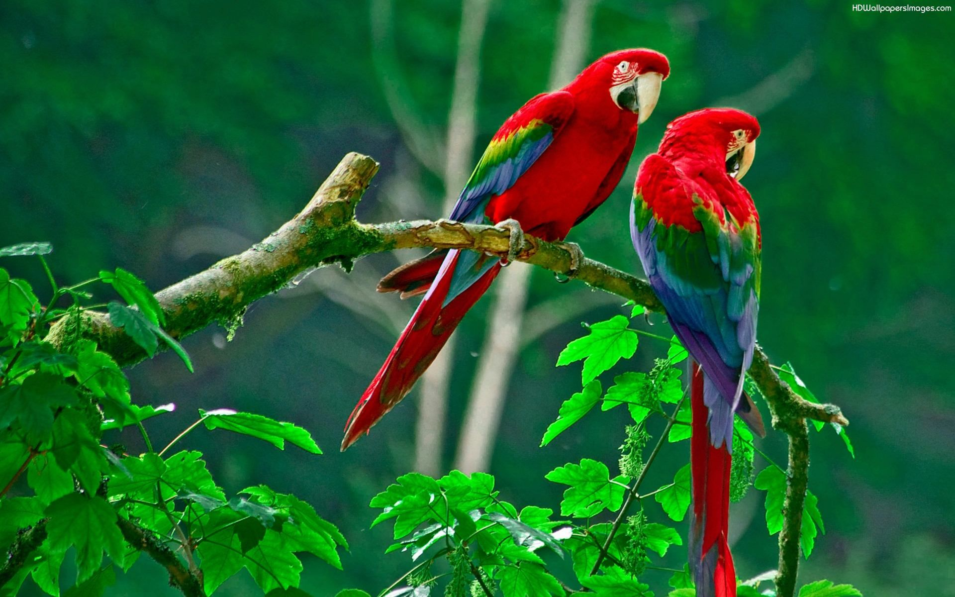 Parrots Couple Hd Wallpapers Images Parrot Wallpaper Birds