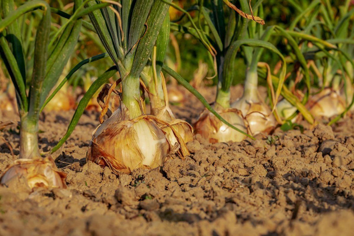 Oignon comment le planter, le cultiver et le récolter en