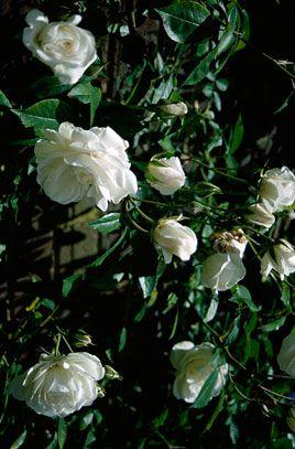 Rose Climbing Iceberg Garden Angels Planting Shrubs Plants