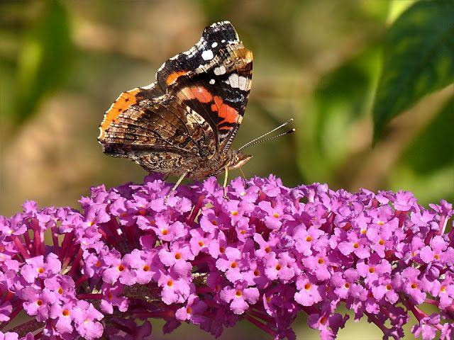В мире природы: #Буддлея Давида посадка и уход фото. # ...