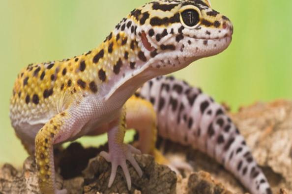 Pin Ot Polzovatelya Chloe Masonnnnn Na Doske Fwa V 2020 G Gekkony Reptilii Zhivotnye