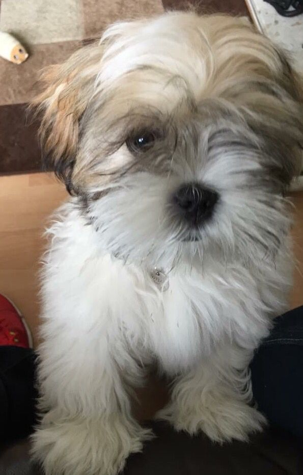 Pin By Joanne Chunn On Too Cute Lhasa Apso Cute Dogs Cute Puppies