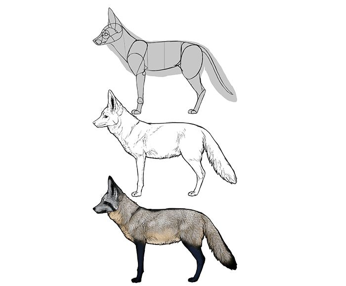 How To Draw Foxes Species Body Bat Eared Fox Fox Drawing Animal