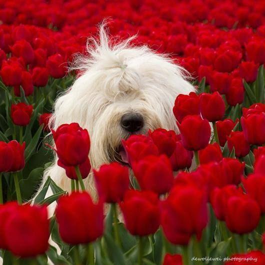 perro con tulipanes rojos