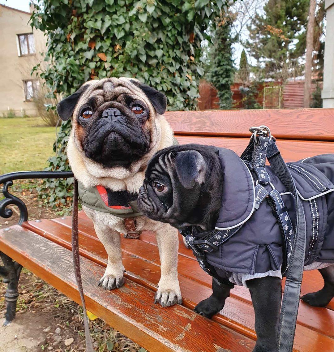 Zdravime Z Prochazky Pug Pugs Pugoftheday Mypug
