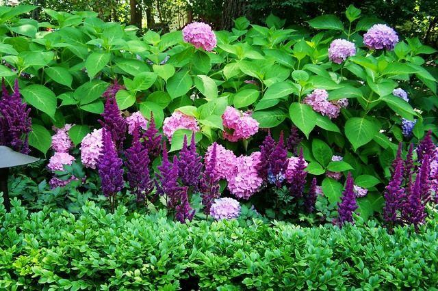 Hortensien Im Schatten lila hortensien duftige blumen flieder stauden mehrjährig blumen