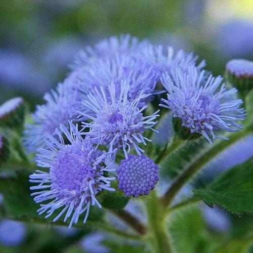 Ageratum Blue Flower Seeds Ageratum Mexicanum Blue 200 Seeds Rosas Vermelhas Cores Botanica