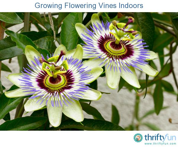 Growing Flowering Vines Indoors Flowering Vines Passion Flower Passion Flower Benefits