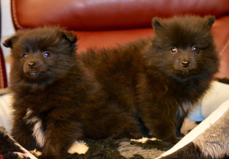 Japanese Spitz Cross Puppies Designer And Cross Breed Puppies