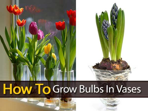 Growing Your Other Favorite Bulbs In Vases To Produce Winter Color Add Spring Fragrance For The Holiday Season The Most Growing Bulbs Growing Tulips Plants