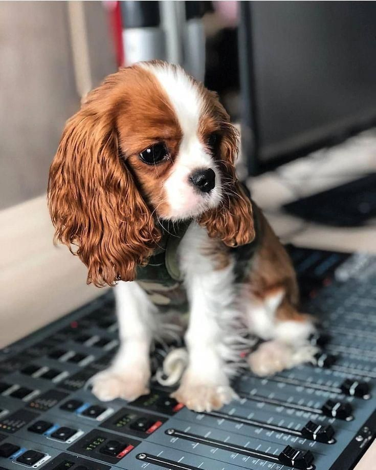 Cavalier King Charles Spaniel Tricolor Spaniel Puppies Puppies Cute Puppies