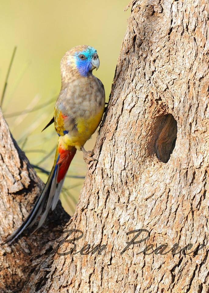 Timeline Photos Western Rosella Man Facebook Parrot Nature Birds Australian Parrots
