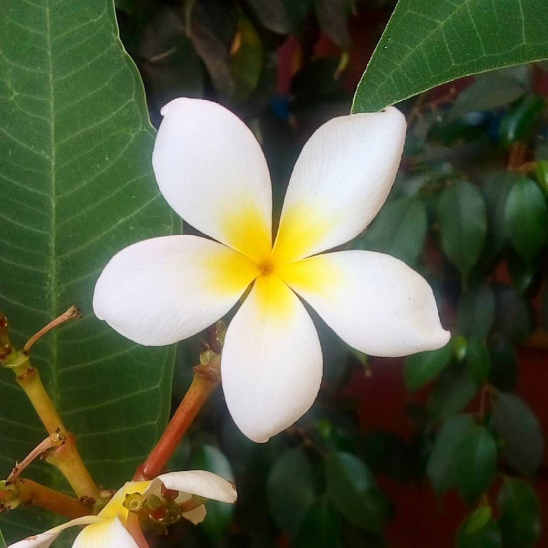 Plumeria Flower The Sole Mention Of Hawaii Probably Makes You Think