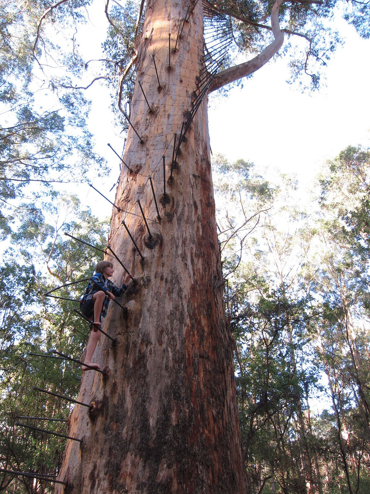 Gloucester Tree 17 Unique Trees Western Australia Tree