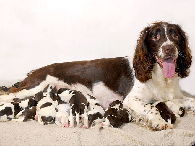 Abbey The Springer Spaniel Litter Count 14 A Typical Litter Of Springer Spaniels Is Seven Puppies But This Overachievin Springer Spaniel Dog Mommy Spaniel