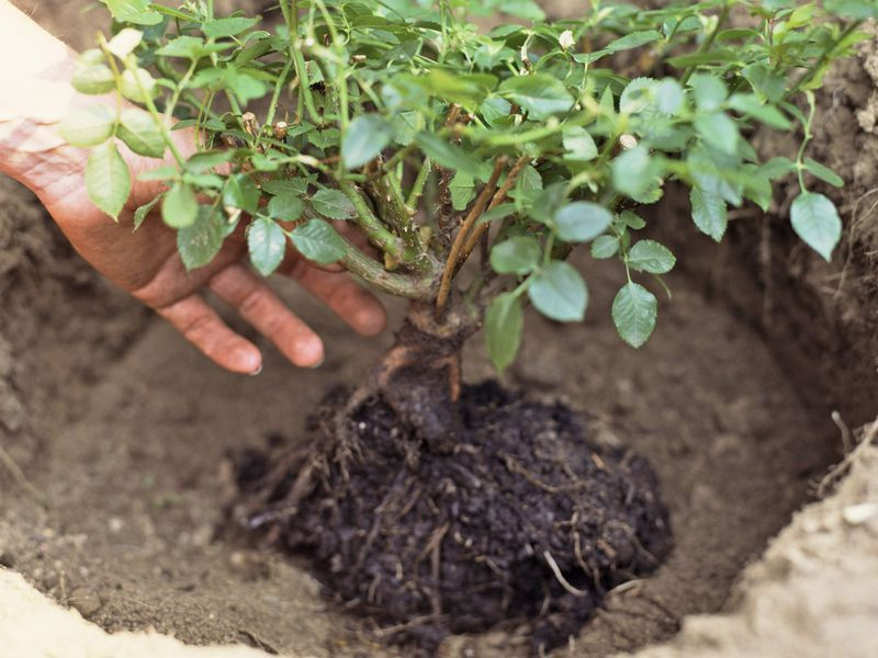 The Best Way To Plant New Roses Rose Garden Design Roses Garden Care Planting Rose Bushes