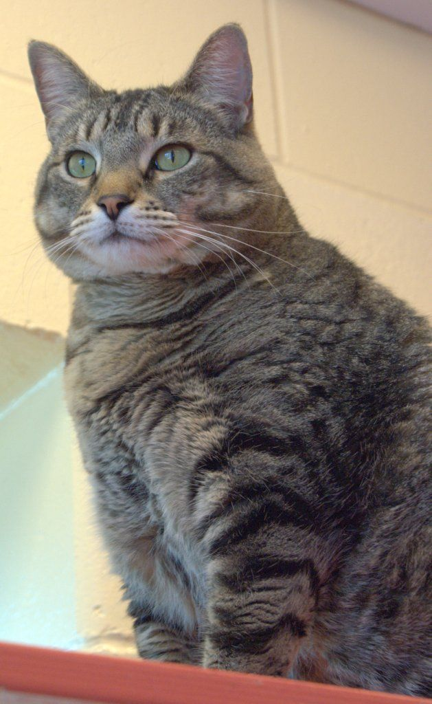 domestic tiger cats Tips to Find Lost Pets Tiger cat