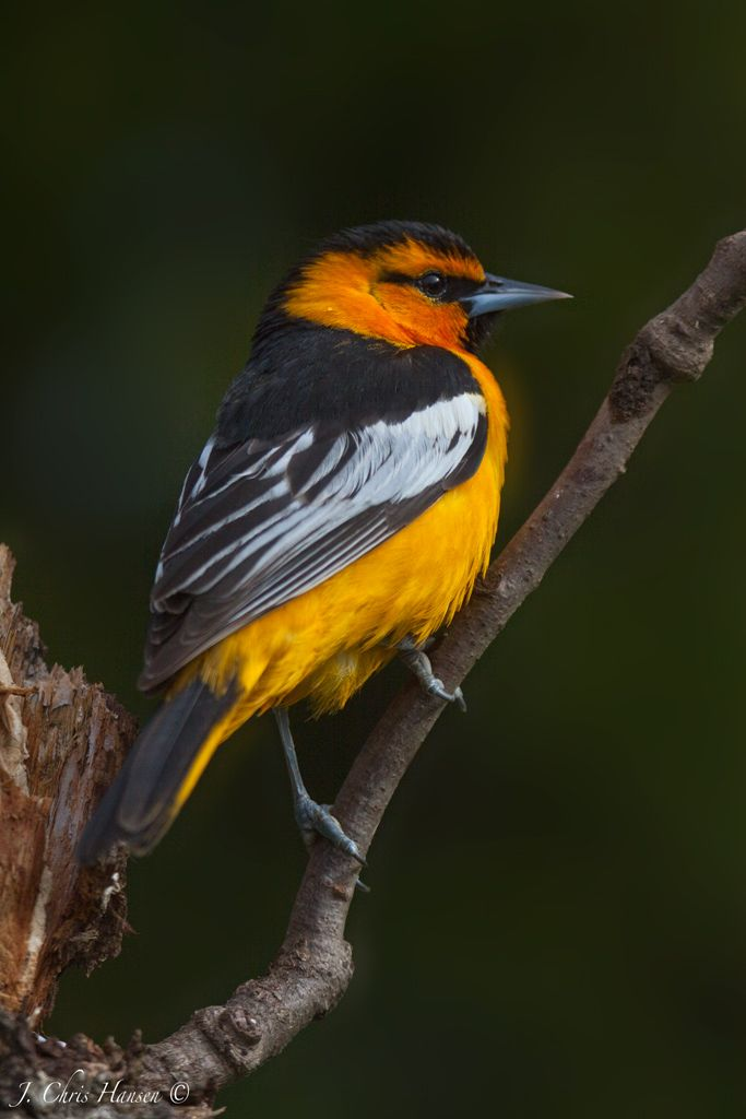Bullocks Oriole Photographed yesterday morning from my ...