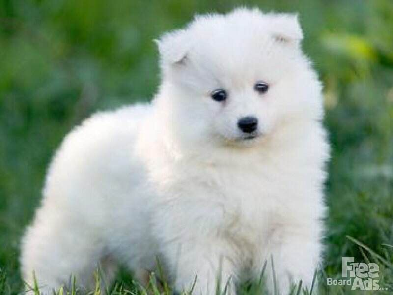 Samoyed puppy | Baby Animals | Pinterest | Samoyed puppies ...