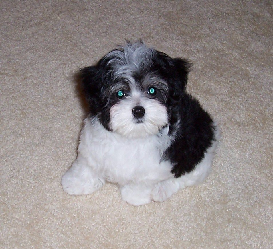 Think I M Leaning Towards A Black White Combo Maltipoo Super