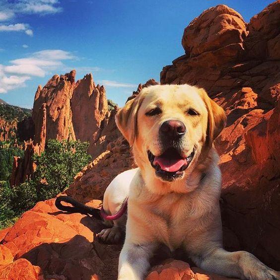 Yellow Labrador Labrador Dog Cute Dog Pictures Labrador Retriever