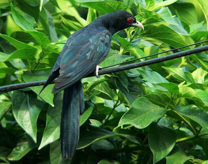 Koel - The Celebration of Spring Season   Bharat Darshan   Birds