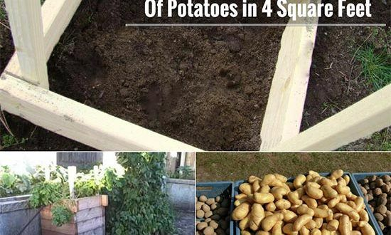 How To Grow 100 Pounds Of Potatoes In 4 Square Feet Veggie Garden Fruit Garden Growing Potatoes