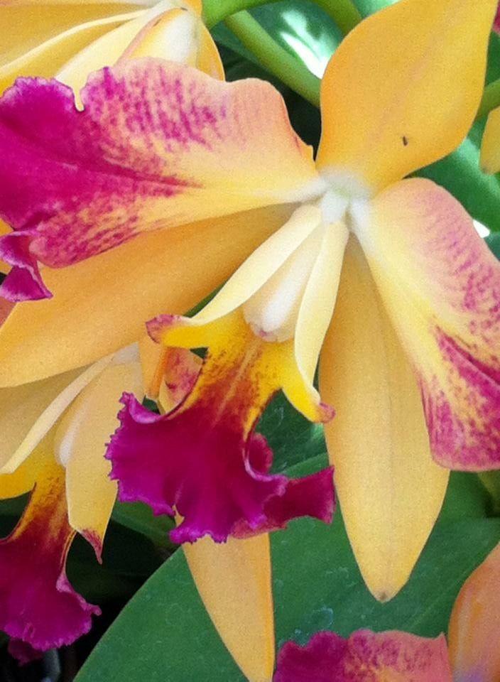 Orquídea Jardim Botânico RJ