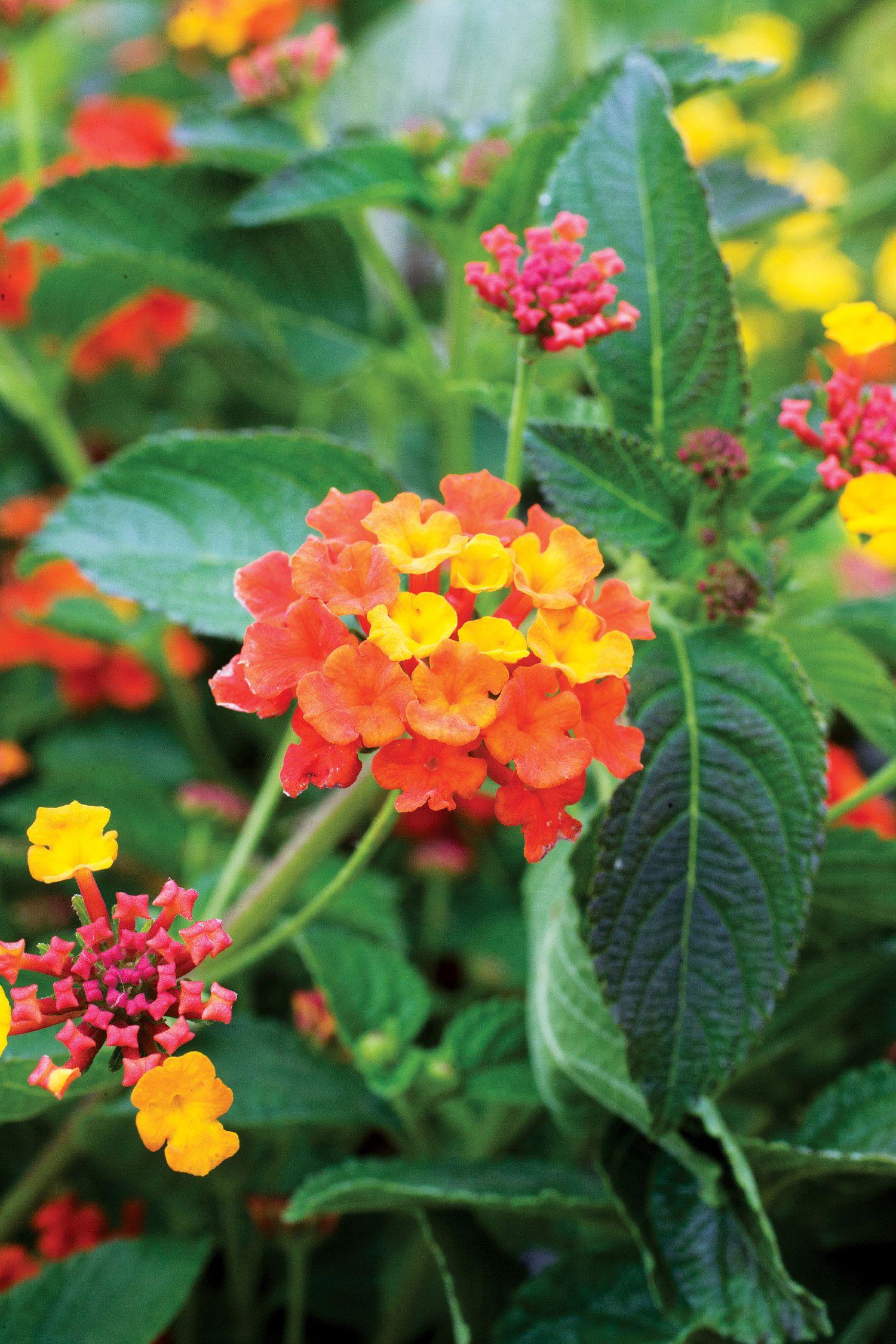 Low Water Flowering Shrubs Water Wise Plants Plants Water Wise