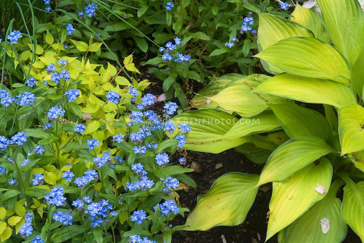 Blue And Gold Yellow Garden Plants Together Hosta Forget Me Not Myosotis