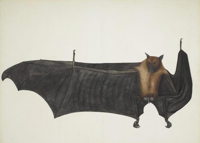 Great Indian Fruit-Bat, Indian, c. 1777.