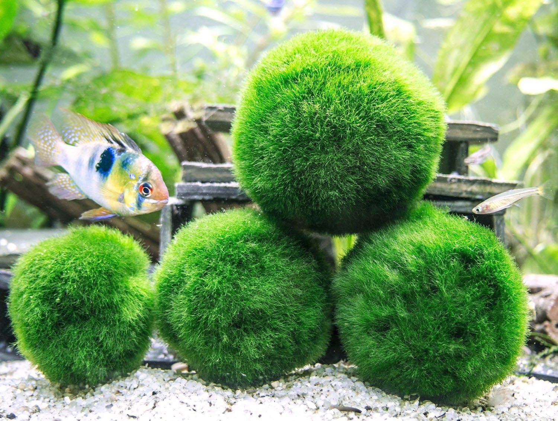 Marimo Moss Ball Live Aquarium Plant マリモ, 毬藻, 動物