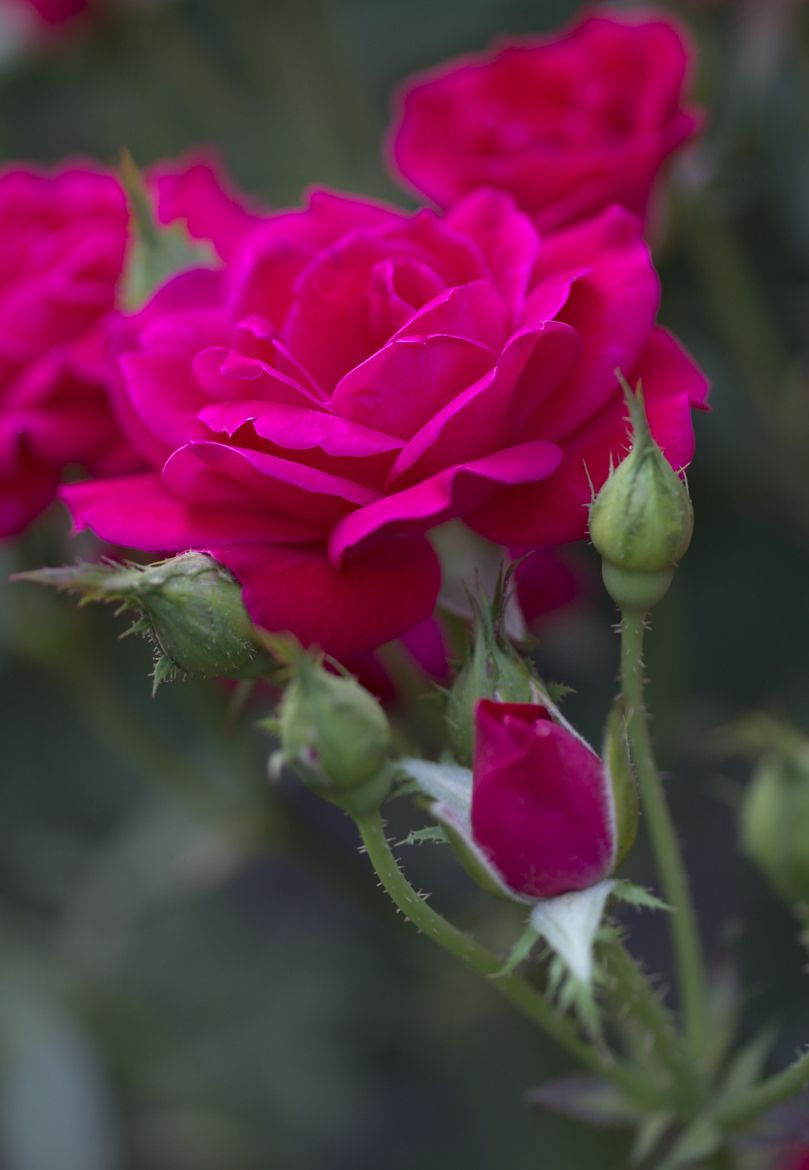 Summer Rose On 500px By Francisco Marty Boston Usa Flowers Beautiful Flowers Beautiful Roses