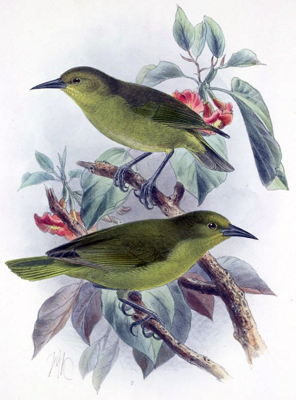 8861. Greater Amakihi (Viridonia sagittirostris) | Hawaii