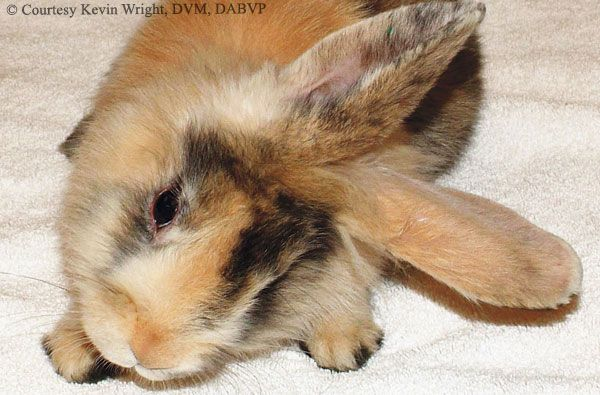 If You Do Not Know About E Cuniculi And You Own A Pet Rabbit