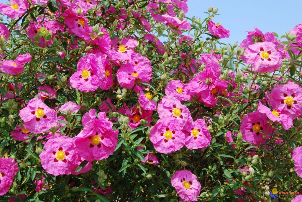 Ciste fleurs pourpres cistus purpureus fleurs imitation ciste fleurs pourpres cistus purpureus mightylinksfo